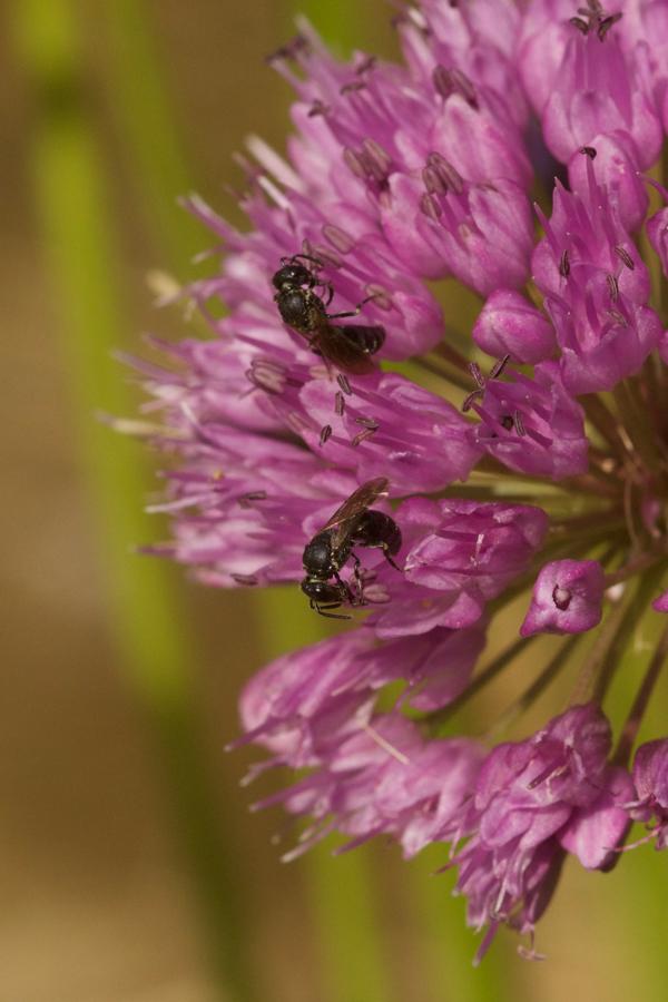 Allium 'Millenium' mit Hylaeus punctulatissimus