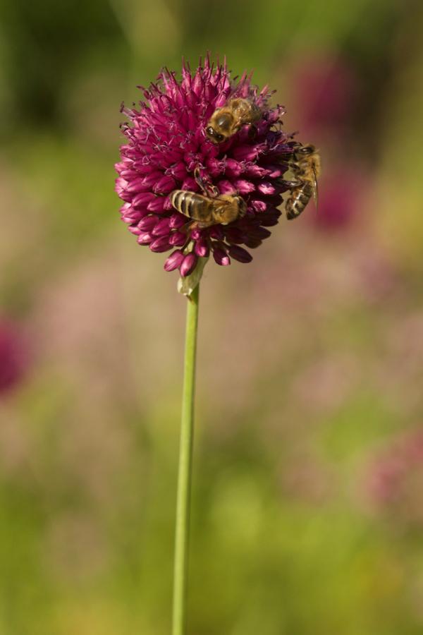 Honigbiene auf Kugelkopflauch