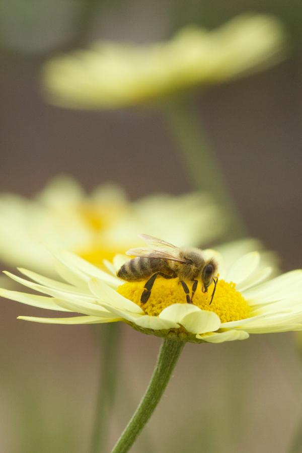 Anthemis tinctoria mit Biene