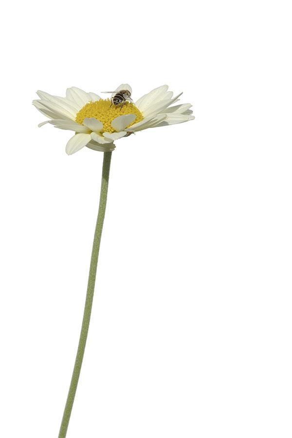 Anthemis tinctoria - Färberkamille