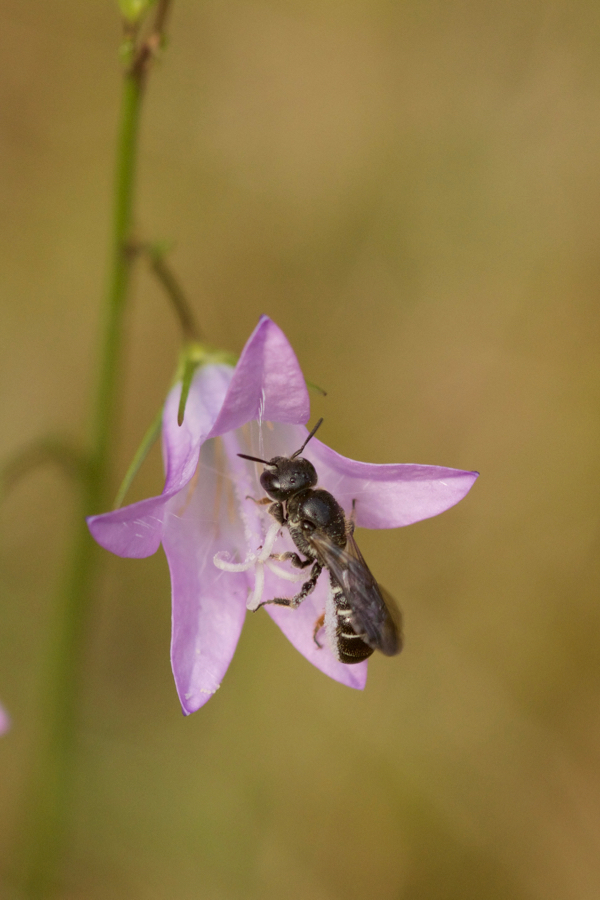 Scherenbiene an Campanula rapunculus
