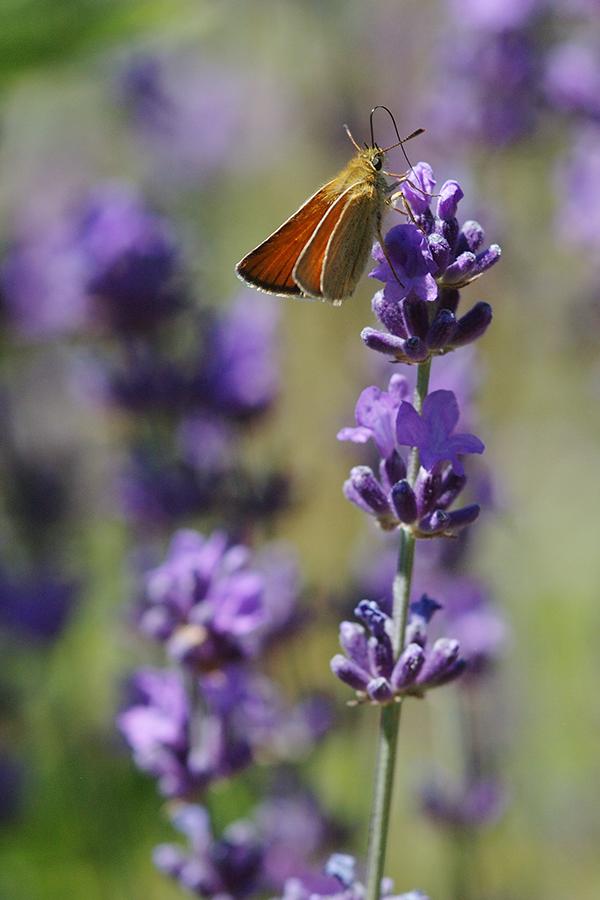Dickkopffalter an Lavendel
