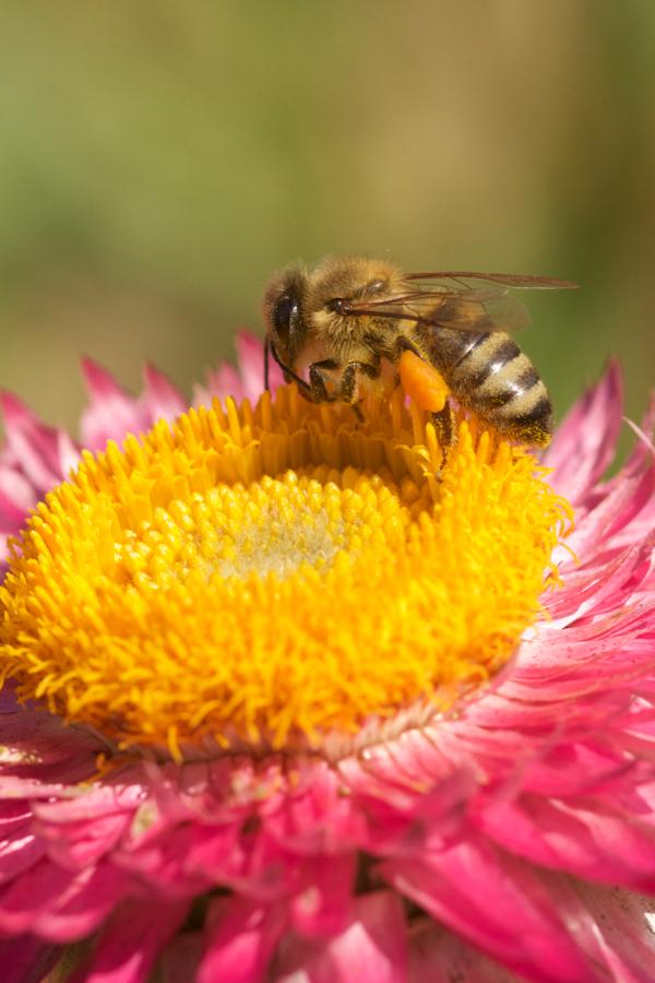 Honigbiene auf Helichrysum bracteatum