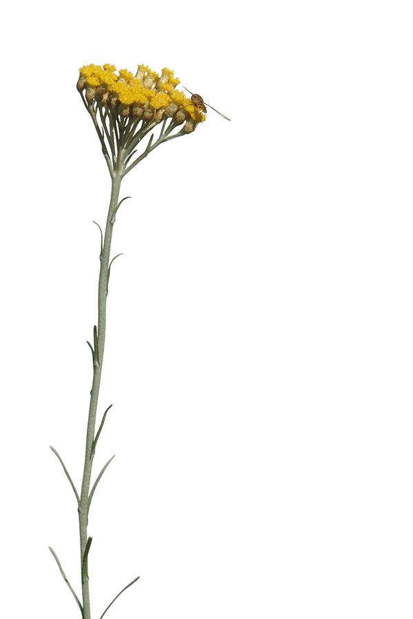 Helichrysum italicum - Italienische Strohblume