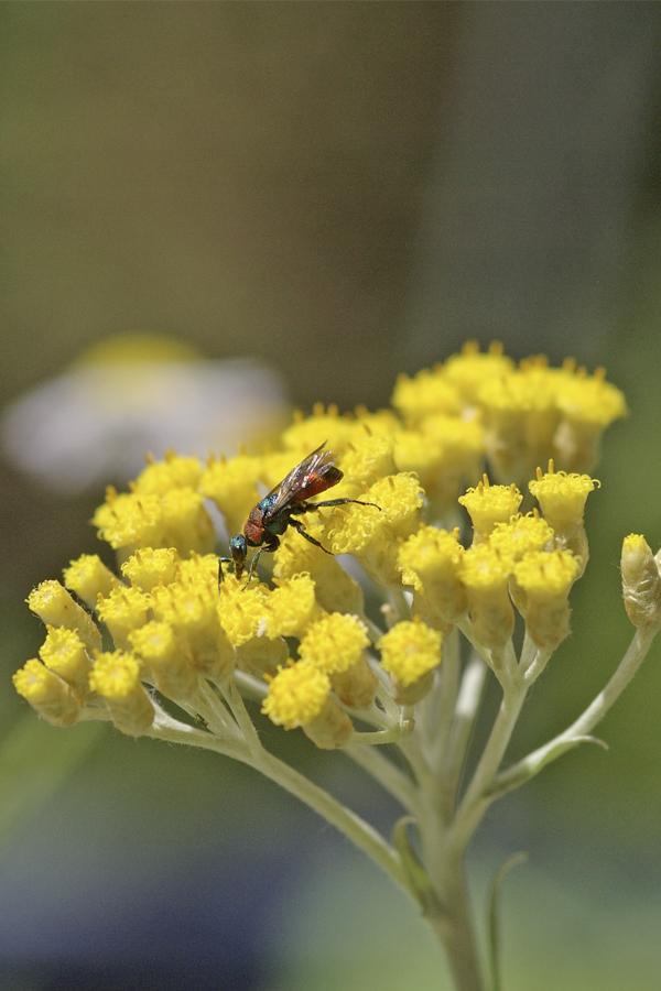 Helichrysum italicum mit Chrysis