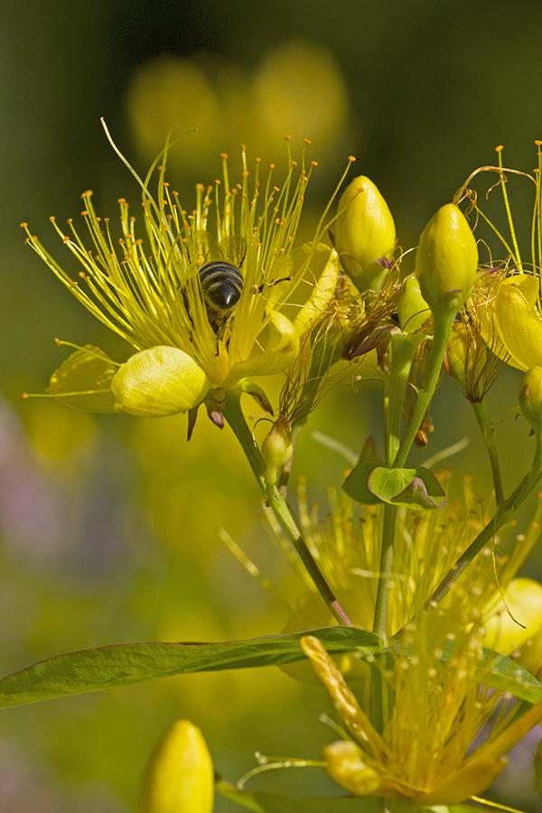 Hypericum hircinum mit Honigbiene