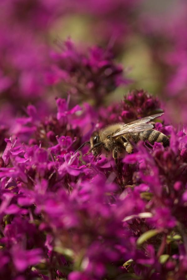 Honigbiene an Thymian