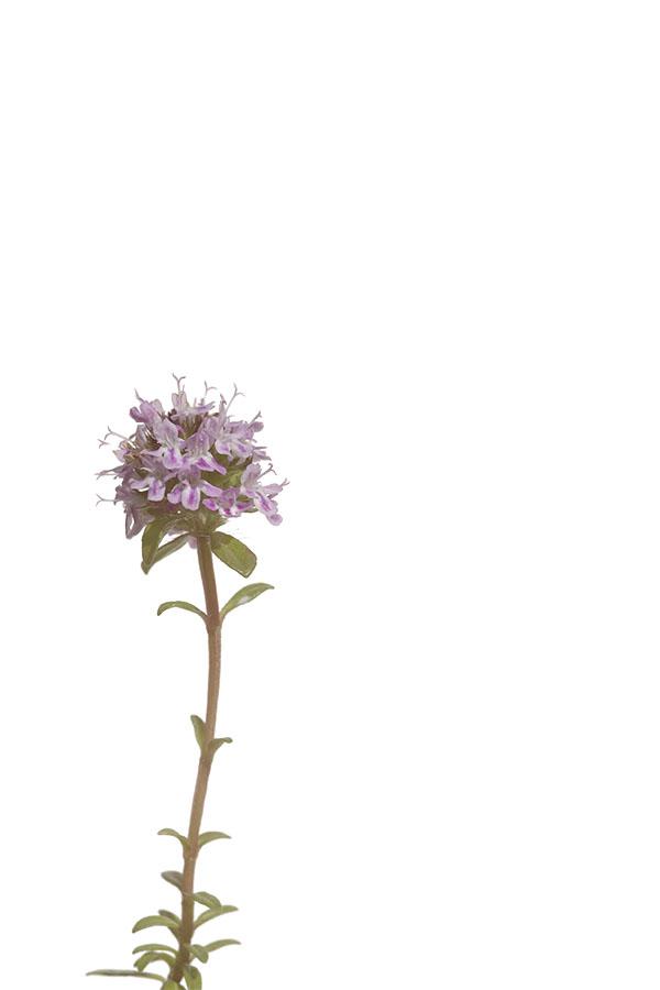 Thymus - Thymian
