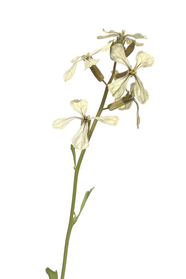 Eruca sativa - Salatrauke